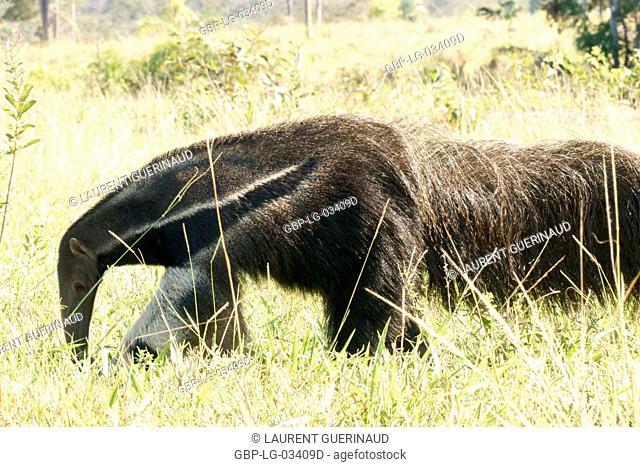 Animal, Anteater, Pantanal, Mato Grosso do Sul, Brazil