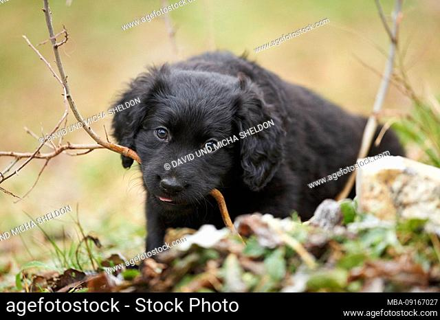 Labradoodle, puppy, meadow, frontal, lying, view camera