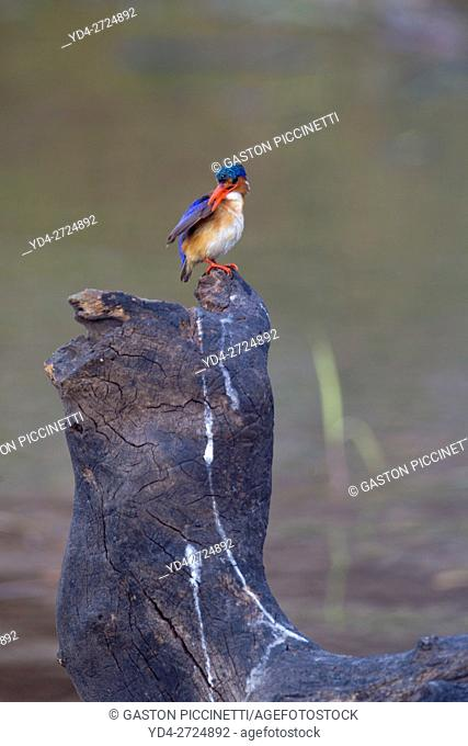 Malachite Kingfisher (Alcedo cristata), Chobe River, Chobe National Park, Botswana