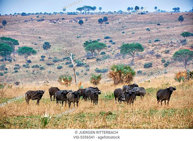 African buffalo, Syncerus caffer, Murchison Falls National Park, Uganda, Africa - Uganda, 10/02/2015