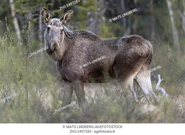 Moose, Alces alces, standing and turning his head and looking in to the camera Gällivare, Swedish Lapland, Sweden