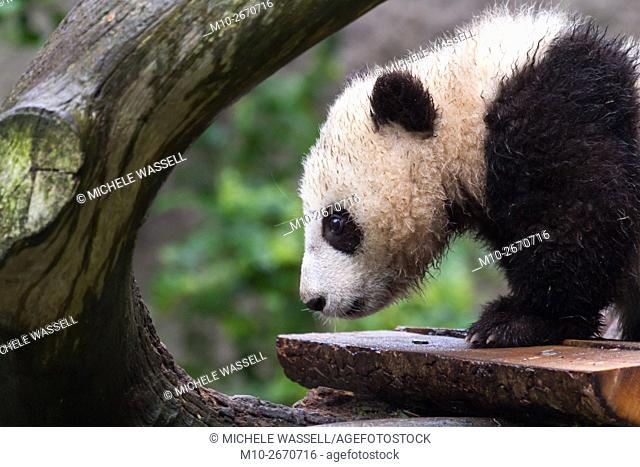 Giant Panda cub checking out the rest of the tree in North America, USA