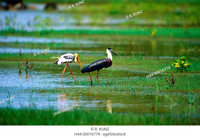 Woollly-necked Stork, Ciconia episcopus, Painted Stork, Mycteria leucocephalus, Ciconiidae, Stork, bird, animal, Sri Lanka