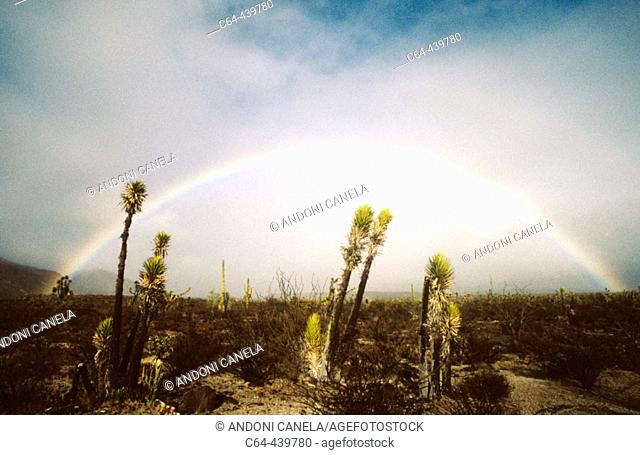 Yuca (Yucca sp). Vizcaino Desert. Baja California. Mexico