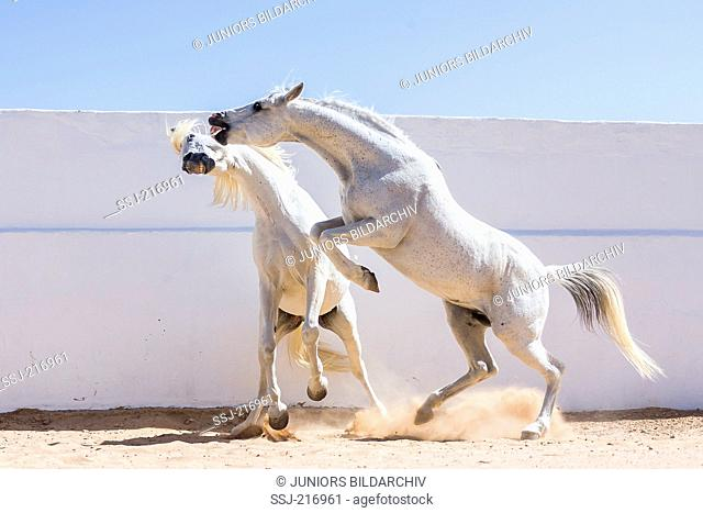 Arab and Barb Horse. Pair of gray stallions playfighting. Tunisia