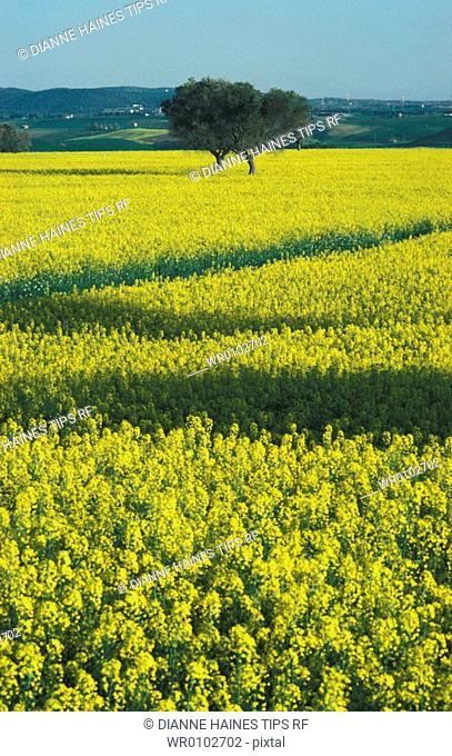 Italy, Lazio, flower field