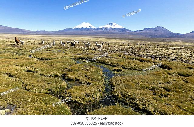 landscape of the Andes Mountains, with snow-covered volcano in the background, and a group of llamas grazing in the highlands