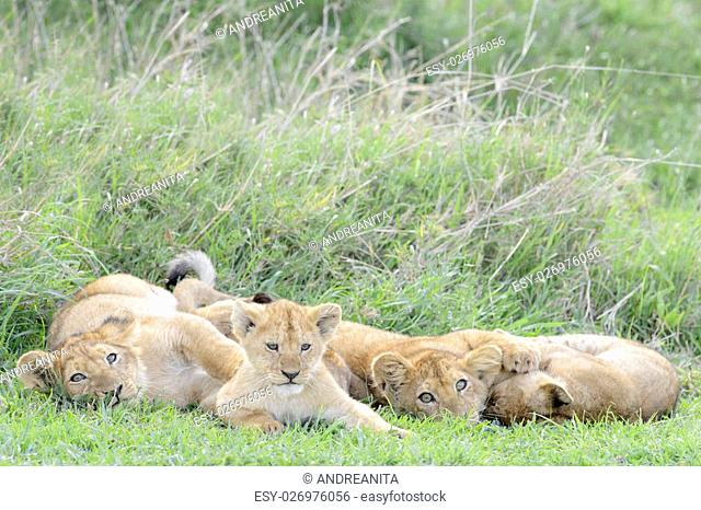 Lion cubs (Panthera leo) playing on the savanna, Serengeti national park, Tanzania