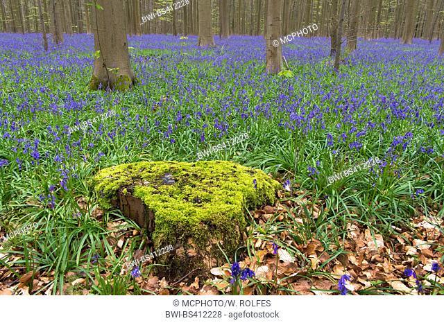 Atlantic bluebell (Hyacinthoides non-scripta, Endymion non-scriptus, Scilla non-scripta), spring in Hallabos, Belgium