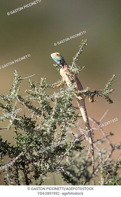 Ground agama (Agama aculeta) - Male, on the branch of a bush, Kgalagadi Transfrontier Park, Kalahari desert, South Africa/Botswana