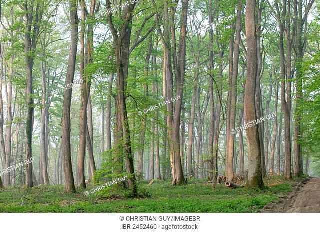Oak forest of Moladiers towards Moulins, Sessile oaks (Quercus petraea), Bourbonnais, Allier, Auvergne, France, Europe