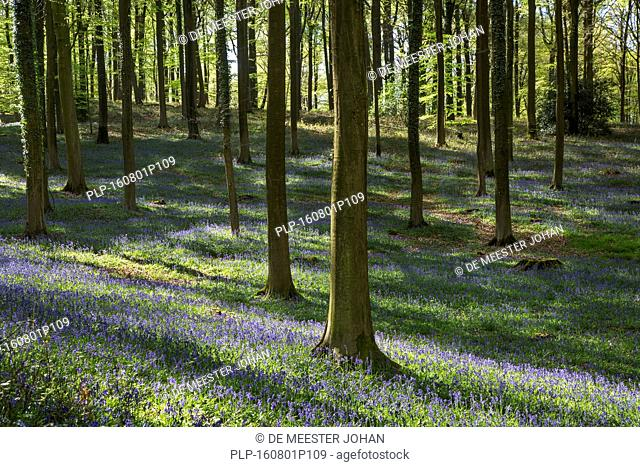 Bluebells (Endymion nonscriptus) in flower in beech forest (Fagus sylvatica) in spring