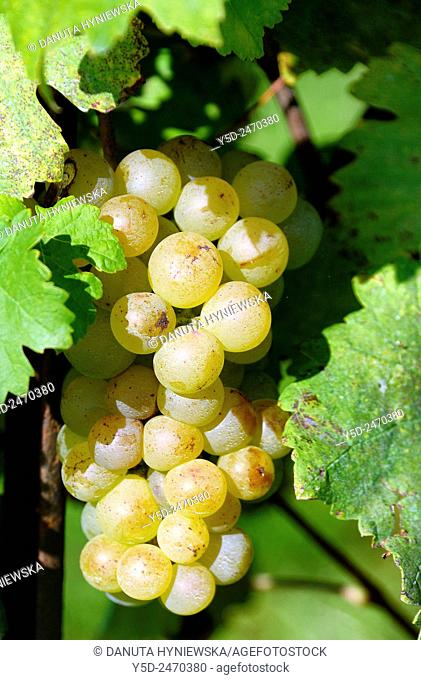 Europe, Switzerland, Canton Vaud, La Côte , district of Morges, Aubonne vineyards, bunch of ripe white grapes ready for harvest