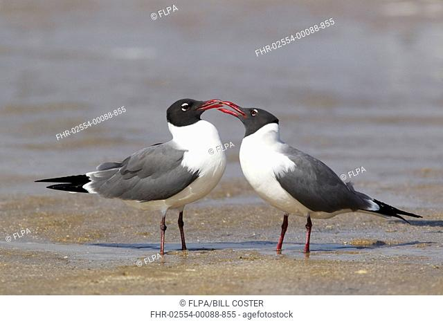Laughing Gull Larus atricilla adult pair, breeding plumage, courtship behaviour, standing on shore at coast, South Padre Island, Texas, U S A , april