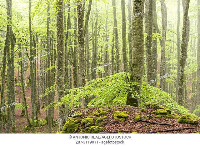 Beech wood (Fagus sylvatica). Parque Natural Sierra de Urbasa. Navarra. Spain