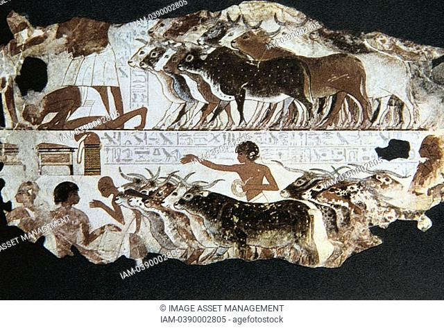 Herdsmen with cattle  Tomb of Nebarunun Nebamun c1350 BC, Thebes  At bottom left scribe is recording details of herd  Wall painting