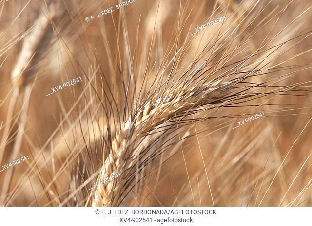 Spike wheat in MOnegros dryland, Aragón, Zaragoza, Spain