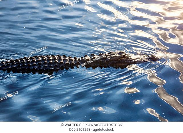 USA, Florida, Everglades National Park, Big Cypress, alligator, detail, alligator mississippiensis