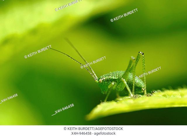 Speckled Bush Cricket, Leptophyes punctatissima, Wales