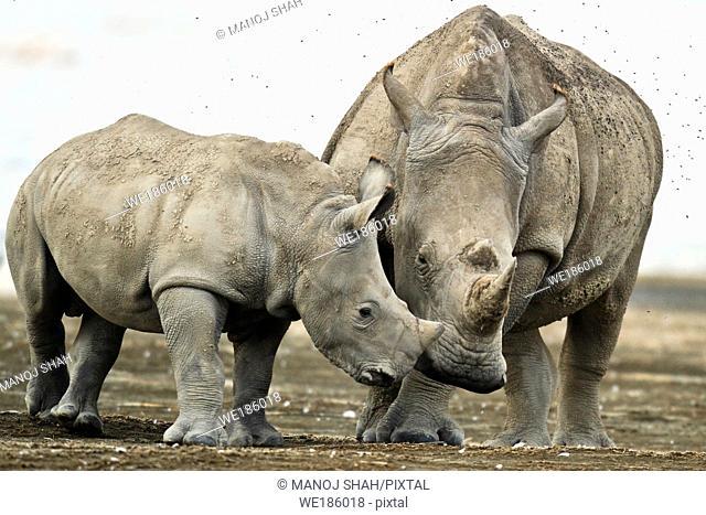 White Rhino and baby nuzzling at Lake Nakuru National Park