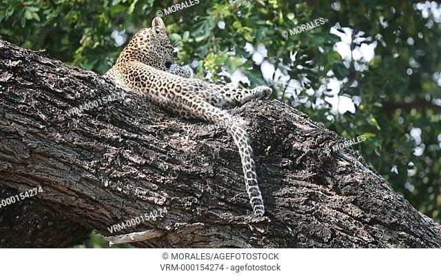 Africa, Southern Africa, South African Republic, Mala Mala game reserve, savannah, African Leopard (Panthera pardus pardus), young in a tree
