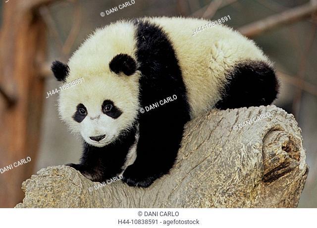 Giant Panda, Ailuropoda Melanoleuca, Giant Panda Research Center, Wolong, Sichuan, China, Asia, Sichuan Giant Panda Sa