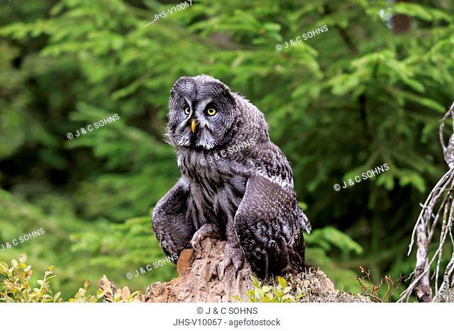 Great Grey Owl, (Strix nebulosa), adult alert on branch, Pelm, Kasselburg, Eifel, Germany, Europe