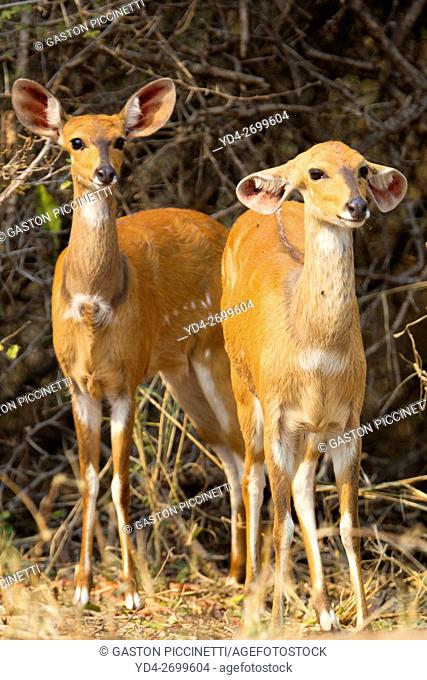 Bushbuck (Tragelaphus scriptus)- Female, Kruger National Park, South Africa