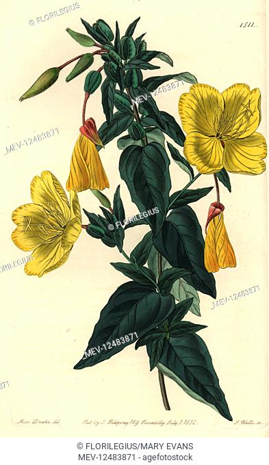 Evening primrose, Oenothera fruticosa subsp. glauca (Glaucous oenothera, Oenothera glauca). Handcoloured copperplate engraving by S