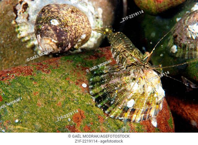 Common prawn on a Common limpet in Brittany, France. Palaemon serratus on Patella vulgata