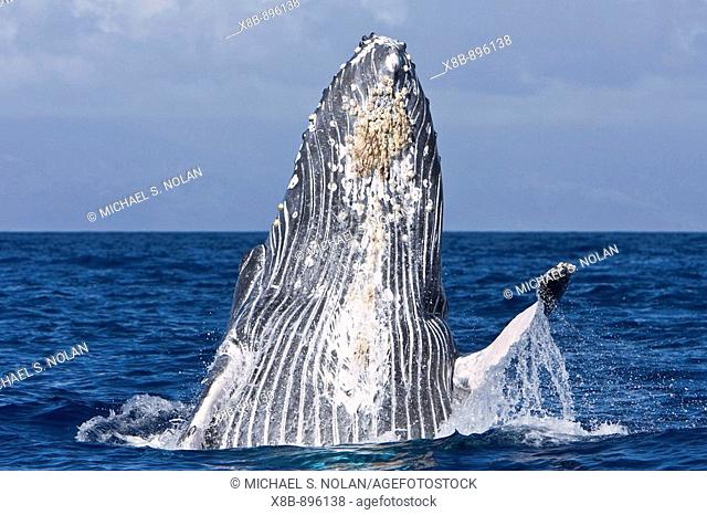 Extremely scarred up sub-adult humpback whale (Megaptera novaeangliae) continually breaching in the AuAu Channel between the islands of Maui and Lanai, Hawaii