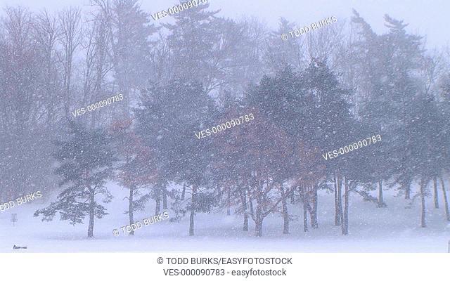 Winter scene of trees in snowstorm
