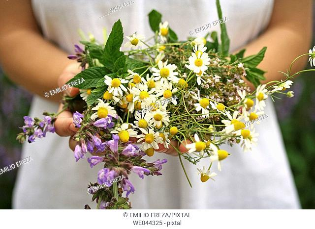 Medicinal plants: Camomile (Matricaria chamomilla), Sage (Salvia officinalis), Thyme (Thymus vulgaris) and Mint (Mentha sp.)