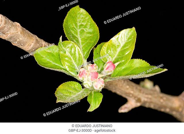 Flowers of Apple tree (Malus sp), Vacaria, Rio Grande do Sul, Brazil