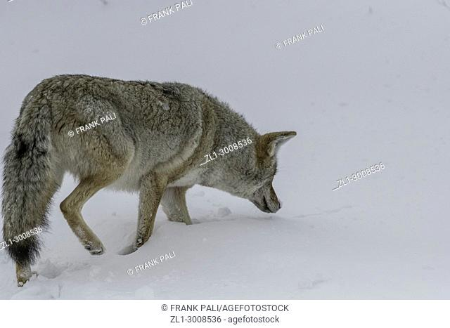 Coyote hunting in Yellowstone National Park
