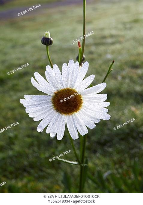 Leucanthemum vulgare; Oxeye daisy; common daisy