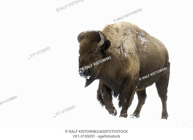 American bison (Bison bison) in winter, impressive adult female, walking through high snow, Yellowstone area, Wyoming, USA.