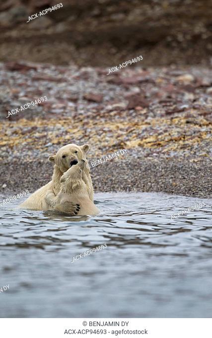 Polar bear, Ursus maritimus, Play in the water, Svalbard, Norway