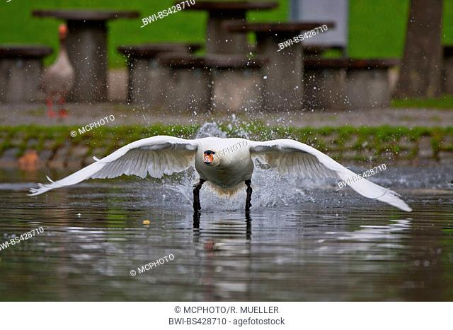 mute swan (Cygnus olor), starting from the water, front view, Germany, Baden-Wuerttemberg