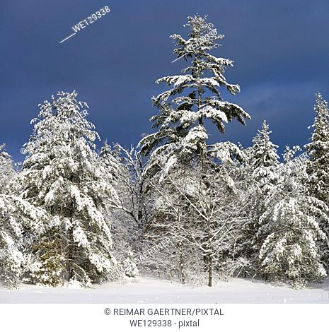 Snow covered evergreen trees in winter with dark sky in Marmora Ontario