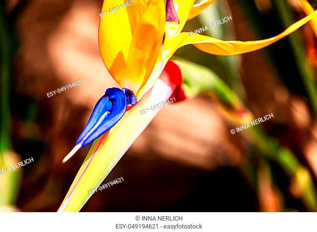 Bird of paradise, exotic strelitzia in a tropical garden