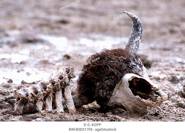 American bison, buffalo (Bison bison), skull and skeleton, USA, Wyoming, Yellowstone NP