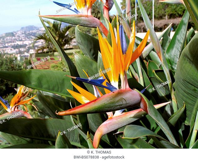 bird-of-paradise flower, Strelitzia reginae, flowerage of Madeira, Botanical garden, Portugal, Madeira, Funchal