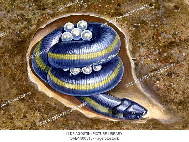 Female Ceylon Caecilian guarding her eggs coiled up in a hole underground (Ichthyophis glutinosus), Ichthyophiidae, drawing