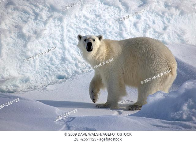 Polar Bear, Ursus Maritimus, on sea ice in the Lincoln Sea, Arctic Ocean, 82 degrees N 34, 61 degrees west 13 on the ice edge