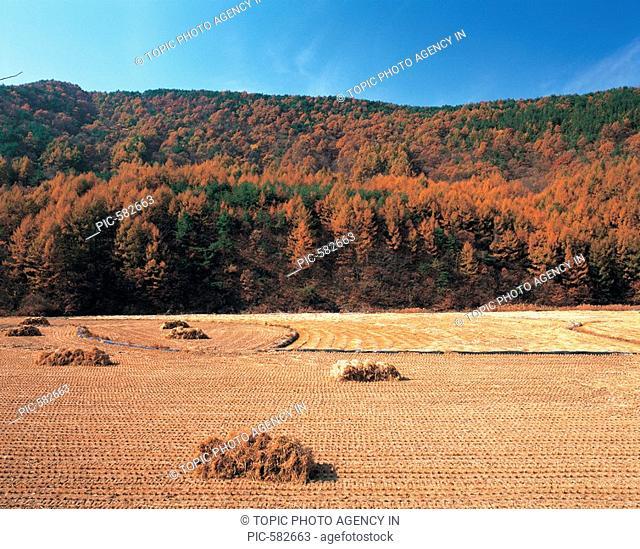 Rice Field in Autumn,Chungbuk,Korea