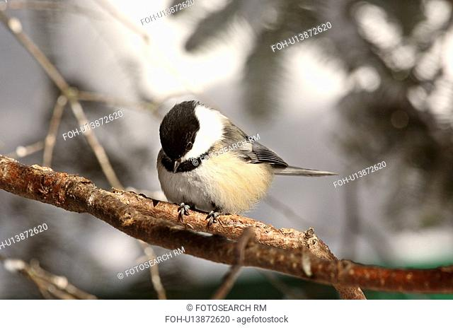 nature winter black capped chickadee perched