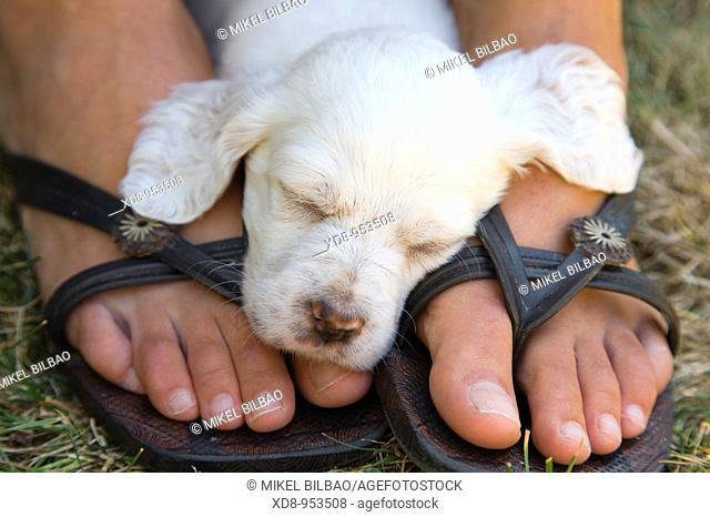 dog puppy English Setter sleeping (Canis lupus familiaris)