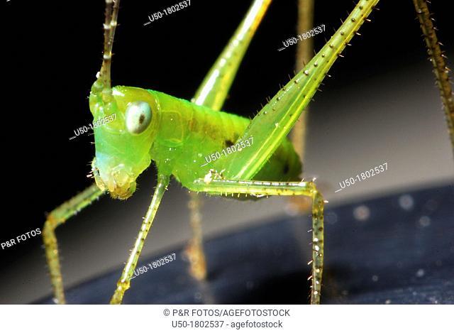 Katydid nymph, Tettigonidae, Orthoptera  2012