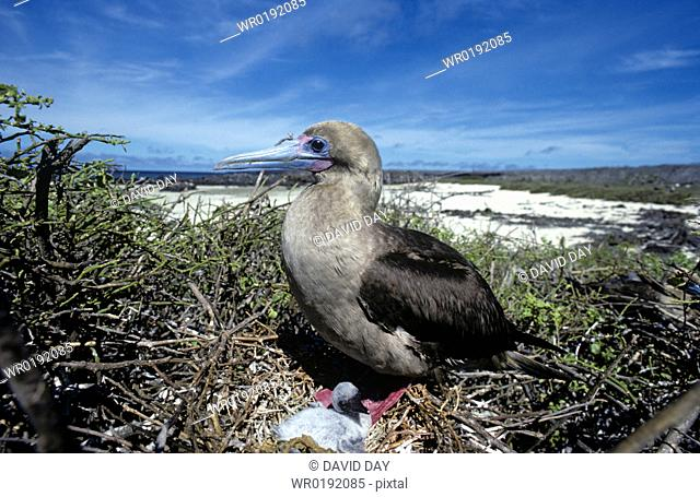 Red-footed booby adult on nest with small chick Sula sula Genovesa Island, Galapagos, Ecuador